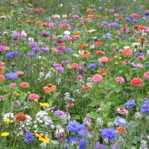 mélange fleuri jachère annuelle