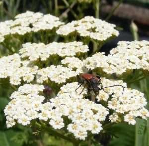 fleurs pour insectes auxiliaires