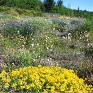 Fleurissement garrigue et zones arides