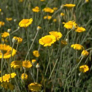 fleurs jaunes vivaces